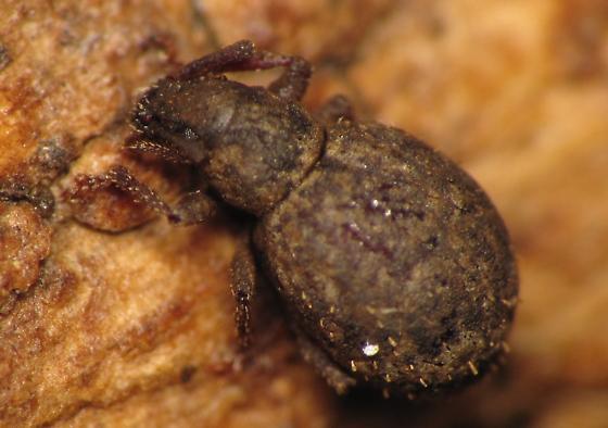 Entiminae - Myosides seriehispidus