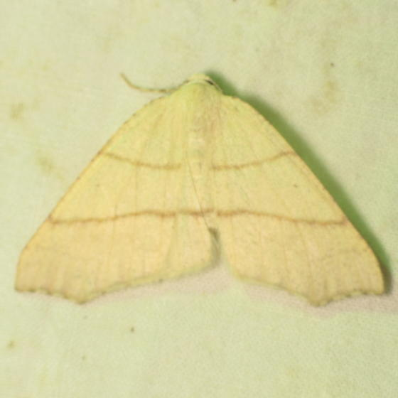 BG Gathering Moth - ID request  - Besma sesquilinearia
