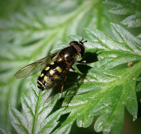 Hover Fly species - Dasysyrphus