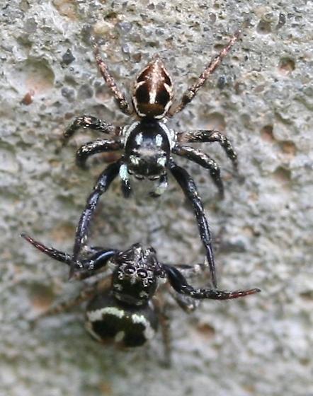 Anasaitis canosa - male - female