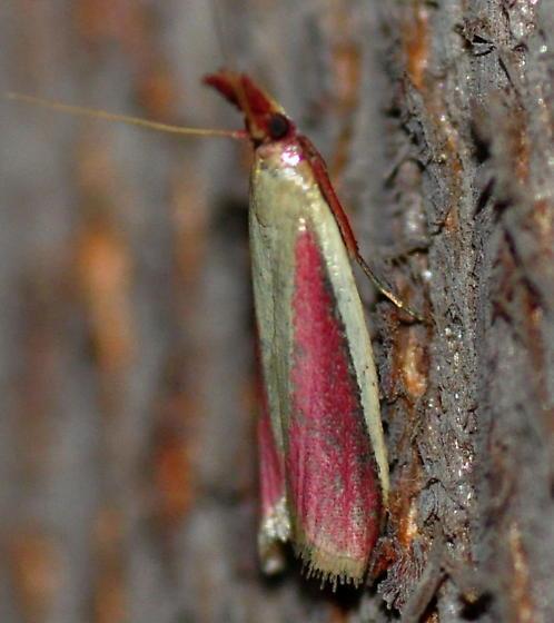 Carmine Snout Moth, 6053 - Peoria approximella