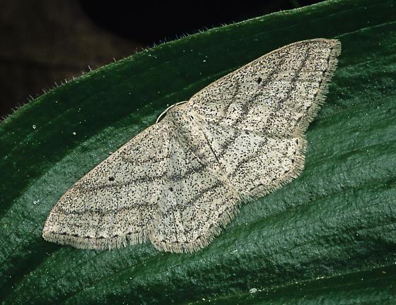Scopula ancellata - female