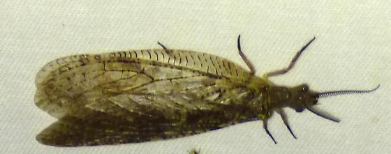 Chauliodes rastricornis - Spring Fishfly?