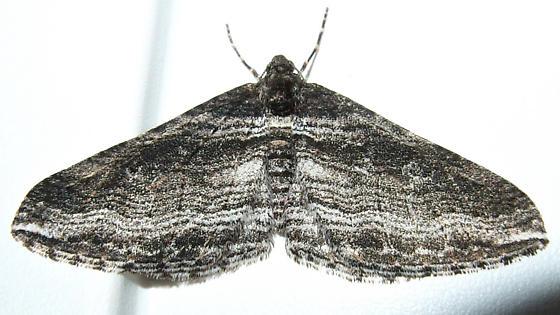black-and-white moth - Lithostege deserticola