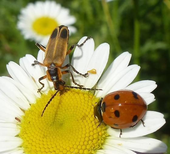 Two beetles - Chauliognathus marginatus