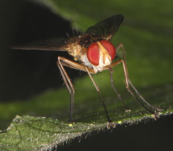 Tachinidae, frontal - Leskia - male