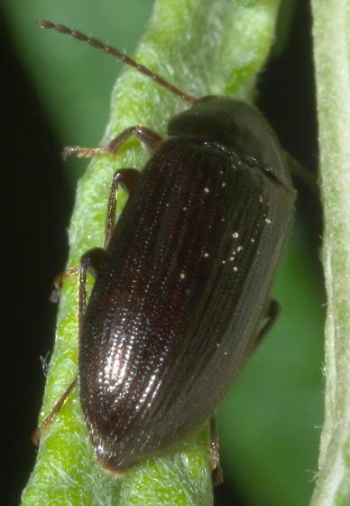 Brown, hairy beetle - Hymenorus