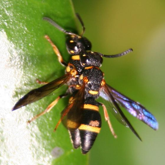 Two-banded Mason Wasp - Left Dorsal - Mating - Parancistrocerus perennis - male - female