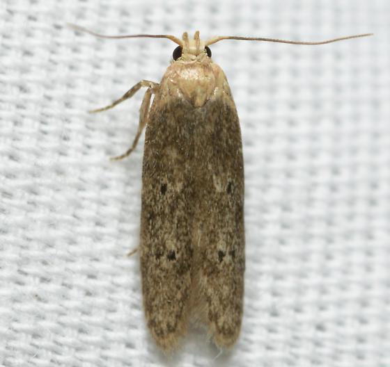 yellow headed moth - Holcocera