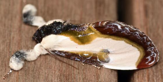 bird dropping moth - Eudryas grata