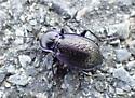Black beetle with purple margins - Carabus serratus