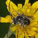 Bee IMG_5444 - Melissodes illatus - male