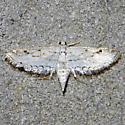 moth - Parapoynx allionealis - female