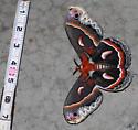 Hyalophora cecropia - Cecropia Moth - Hodges#7767 - Hyalophora cecropia