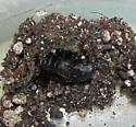 Black and orange caterpillar - Estigmene acrea