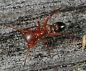Spider - Peckhamia