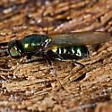 Very Green Fly - Microchrysa polita