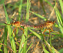 Hanging Thieves Mating - Diogmites salutans - male - female