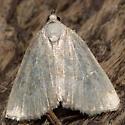 Lithacodia albidula - Protodeltote albidula