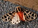 Similar to Mexican Tiger Moth - Apantesis proxima - male