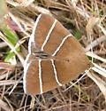 2-Lined Moth - Argyrostrotis quadrifilaris