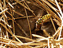 Prairie Yellowjacket - Vespula atropilosa