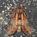 Notodonta scitipennis  - Notodonta scitipennis