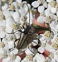Cerambycidae 7-28-11 01a - Stenocorus obtusus