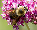 Brown-belted Bumble Bee? - Bombus