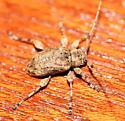 Cerambycid - Styloleptus biustus
