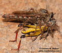 Robber Fly feeding on grasshopper. - Scleropogon picticornis - female