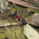 Formicinae - Camponotus chromaiodes