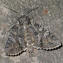 gray accent moth - Brachylomia
