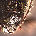 Eurypogon species - Eurypogon californicus - female