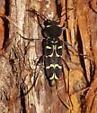 Xylotrechus - Xylotrechus undulatus