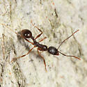 ant on a tree trunk - Aphaenogaster picea