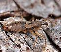 Bug ID - Hoplistoscelis pallescens - male