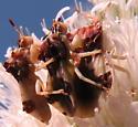 Ménage à trois - Phymata americana