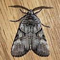 Noctuidae: Sympistis chionanthi - Sympistis - Sympistis chionanthi