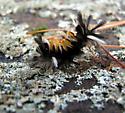 Milkweed Tussock Caterpillar - Euchaetes egle