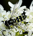 Syrphidae 2 on Cow Parsley - Melangyna - female