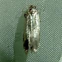 Monochroa fragariae 1171 - Monochroa fragariae