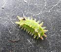 Spiked Larva - Euclea