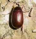 Red scarab - Serica