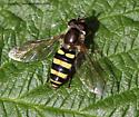 Syrphid - Eupeodes