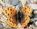 4393 Purplish Copper - Lycaena helloides? dorsal - Lycaena helloides