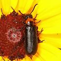 Soldier Beetle ? - Nemognatha nemorensis