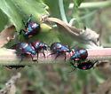 nymph bug - Alcaeorrhynchus grandis