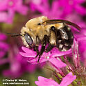 Bee - Anthophora montana
