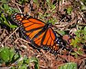 January Monarch - Danaus plexippus - male